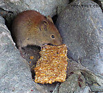 I was at a popular spot for dipnetting, and this little rodent (a vole, I think?) hit the jackpot with an earlier angler's leftover snack. From the Copper River in Alaska.