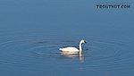 Trumpeter swan in 50-Mile Lake off the Denali Highway. From Denali Highway in Alaska.