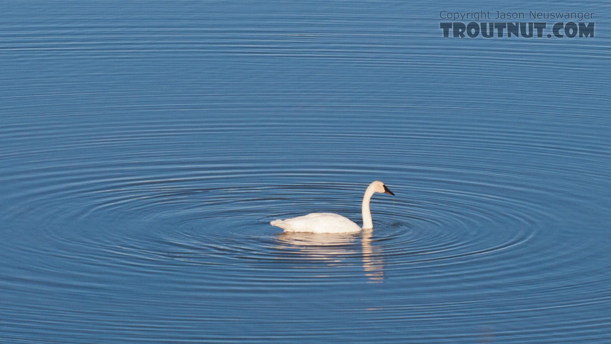 Trumpeter swan in 50-Mile Lake off the Denali Highway. From Denali Highway in Alaska.