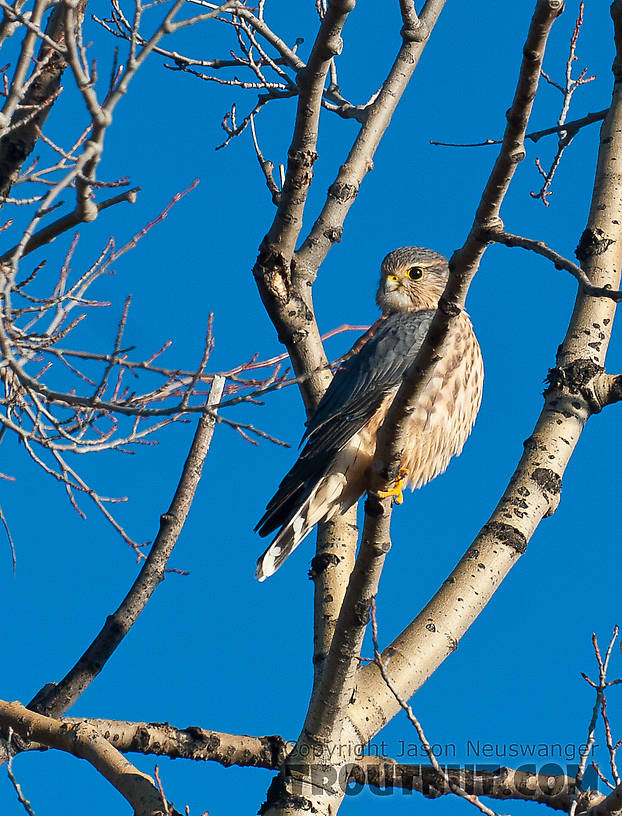 A merlin. From Denali Highway in Alaska.