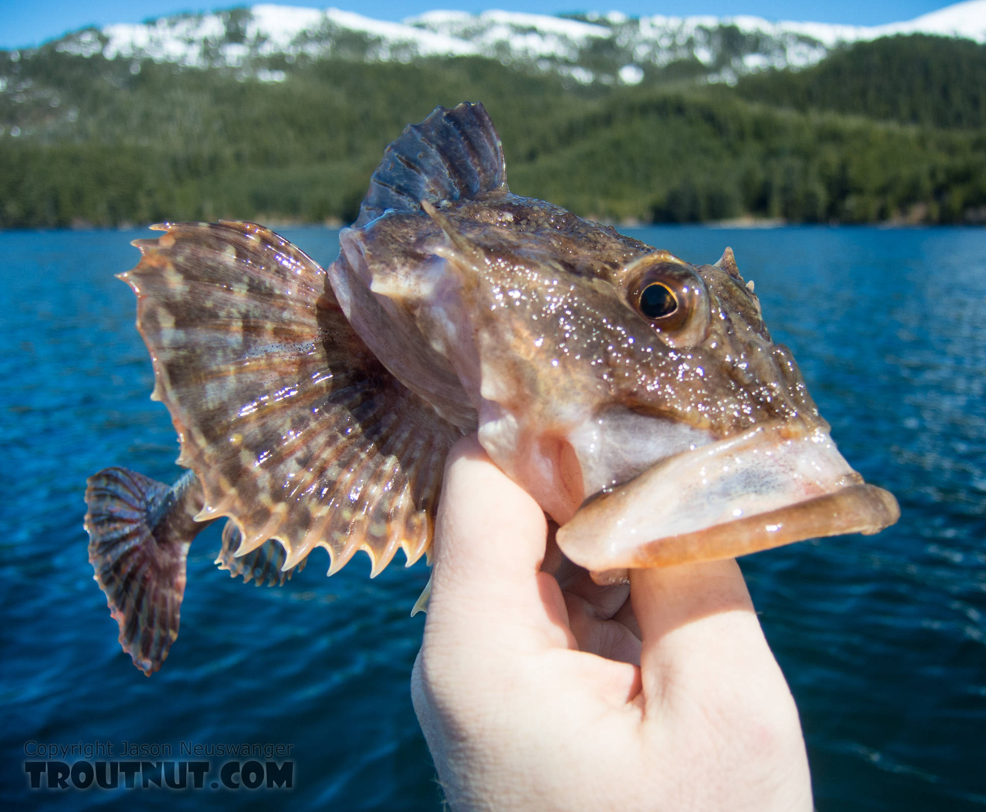 """Sculpins are sort of the """"trash fish"""" of Alaskan saltwater, but I love how they look. From Prince William Sound in Alaska."""