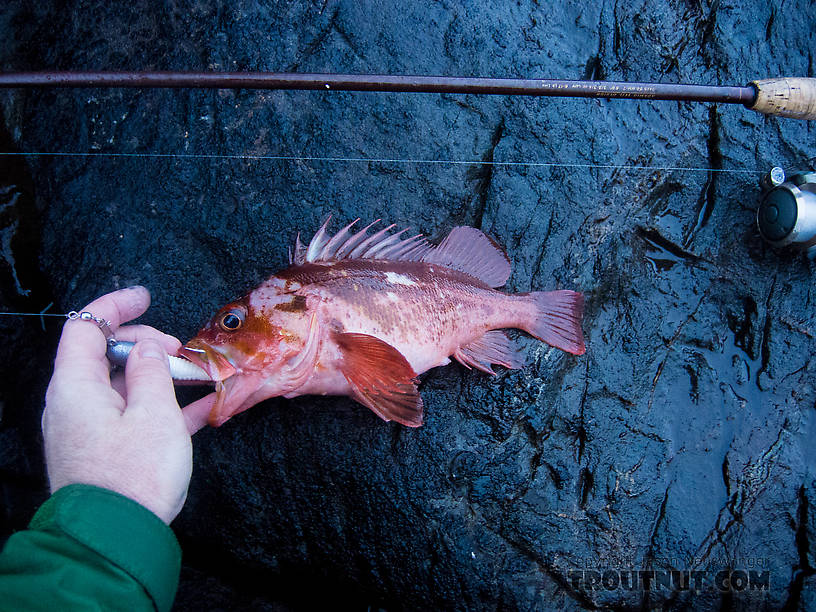 My first rockfish (a copper rockfish). From Prince William Sound in Alaska.