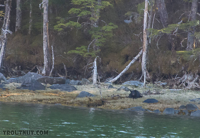 We saw very few bears along the shore, and had to climb up on the mountain to go after them. Exceptions were the very first bear we saw on the trip, which we didn't get, and this one spotted during the raft trip back to camp with my bear. From Prince William Sound in Alaska.