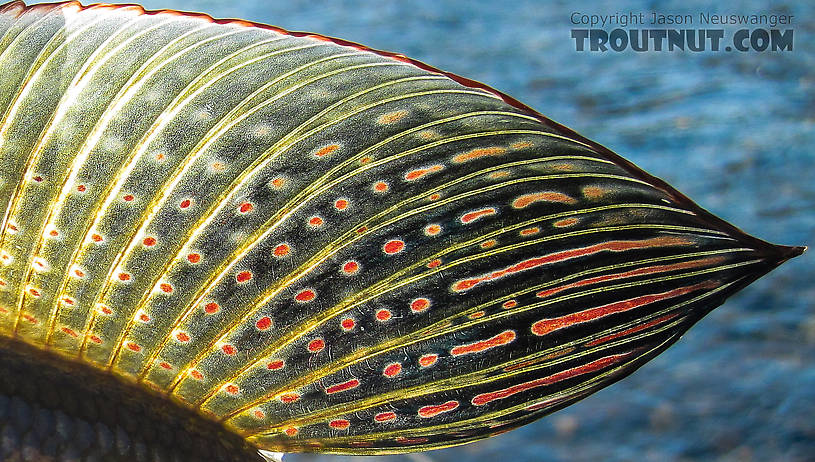The dorsal fin of a grayling is one of the prettiest sites in Alaska. From Nome Creek in Alaska.