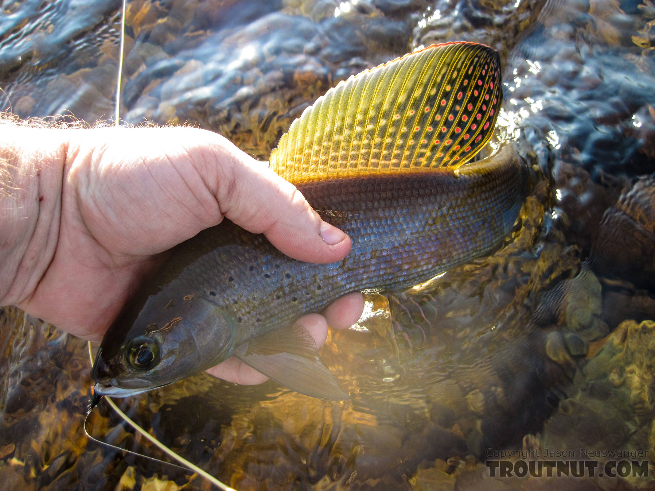 Beautiful grayling brought to hand. From Nome Creek in Alaska.