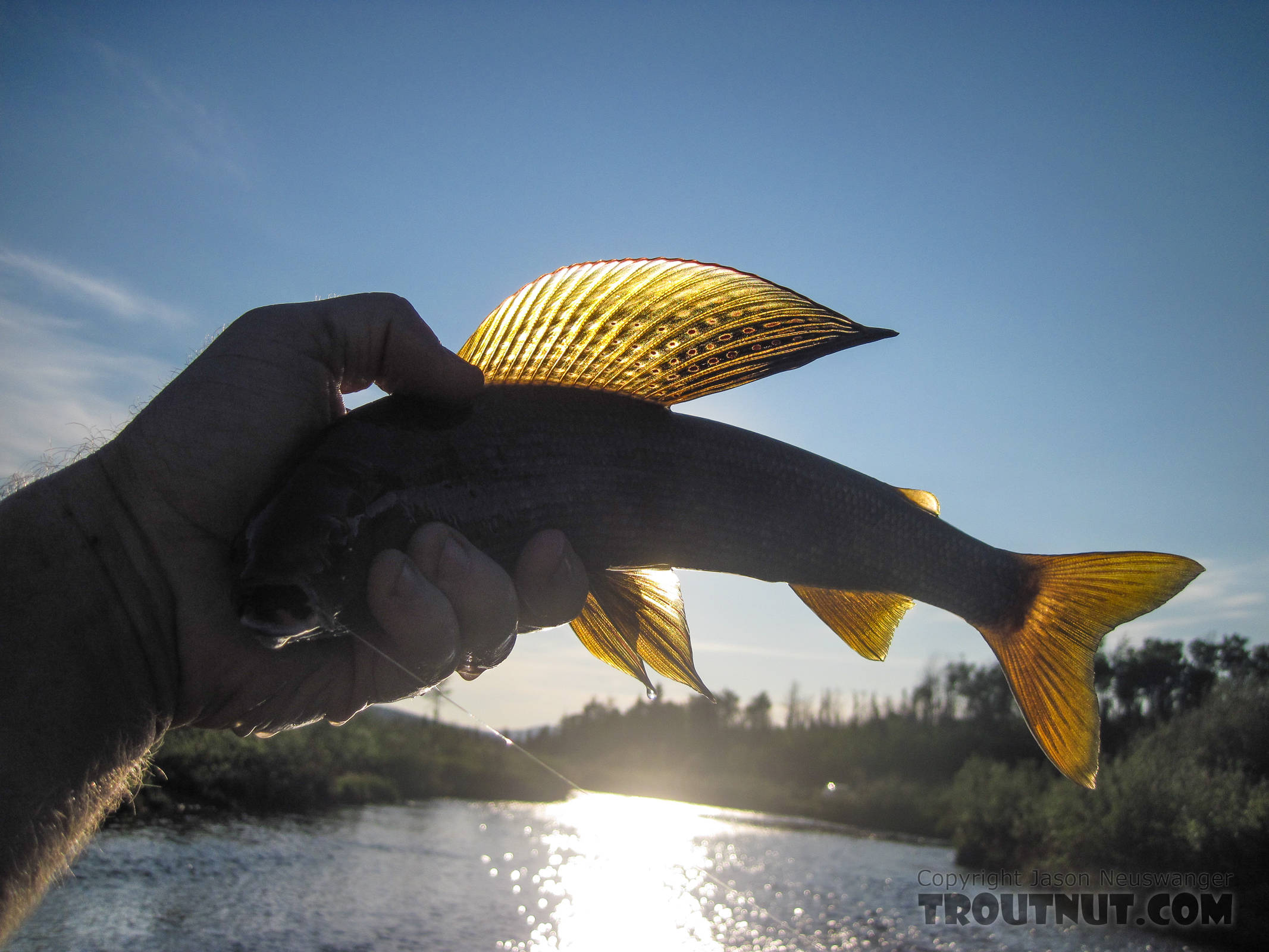 Playing around a bit with backlighting and demonstrating how not to hold a fish. From Nome Creek in Alaska.