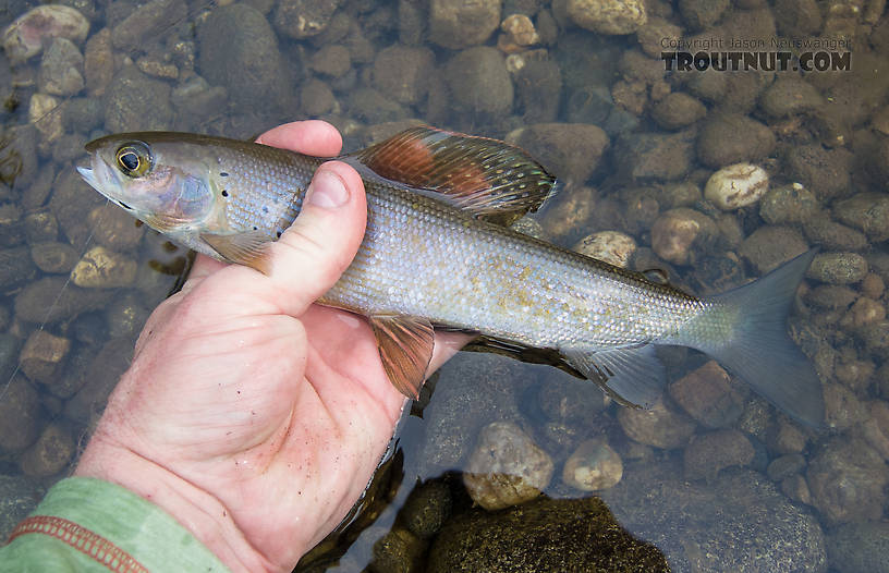 A dinky grayling in most places, this one was a lunker for this stream. From Mystery Creek # 170 in Alaska.
