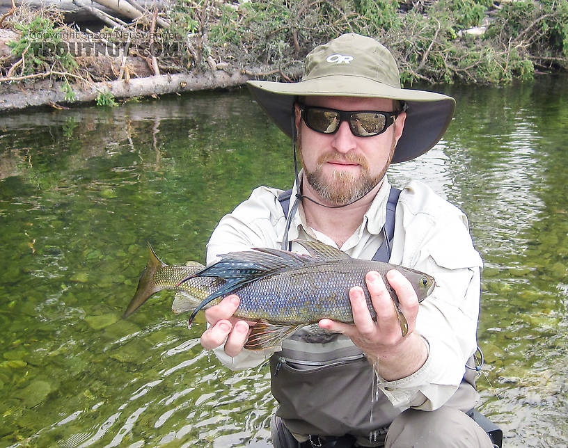 This old grayling had some serious battle scars on its dorsal fin, something I've never seen before catching many hundreds of fish. From the Chena River in Alaska.