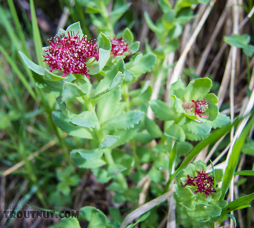Rhodiola integrifolia (King's Crown) From Clearwater Mountains in Alaska.