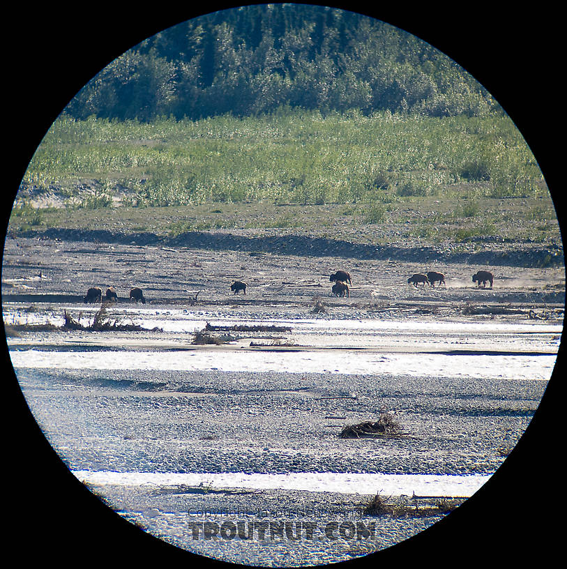 Every time I drive past the Delta River overlooks on the Richardson Highway southwest of Fairbanks, I look for the wild bison that supposedly calve in that area. I've never seen them until this trip, when a few dozen were milling around out in the open valley next to the big glacial river. I snapped this picture through my spotting scope. From the Delta River in Alaska.