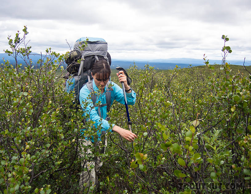 My wife bushwhacks through some dwarf birch on our way up into the mountains. There's no trail. From Clearwater Mountains in Alaska.