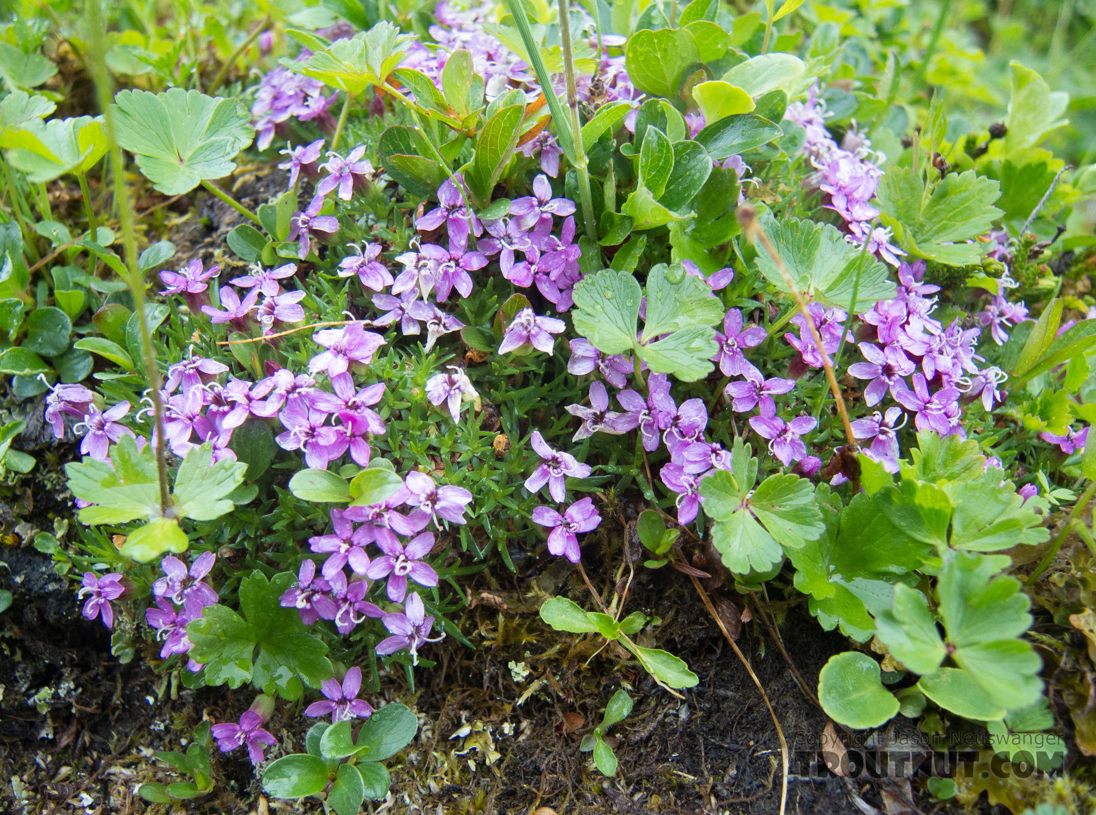 Moss campion (Silene acaulis) From Clearwater Mountains in Alaska.