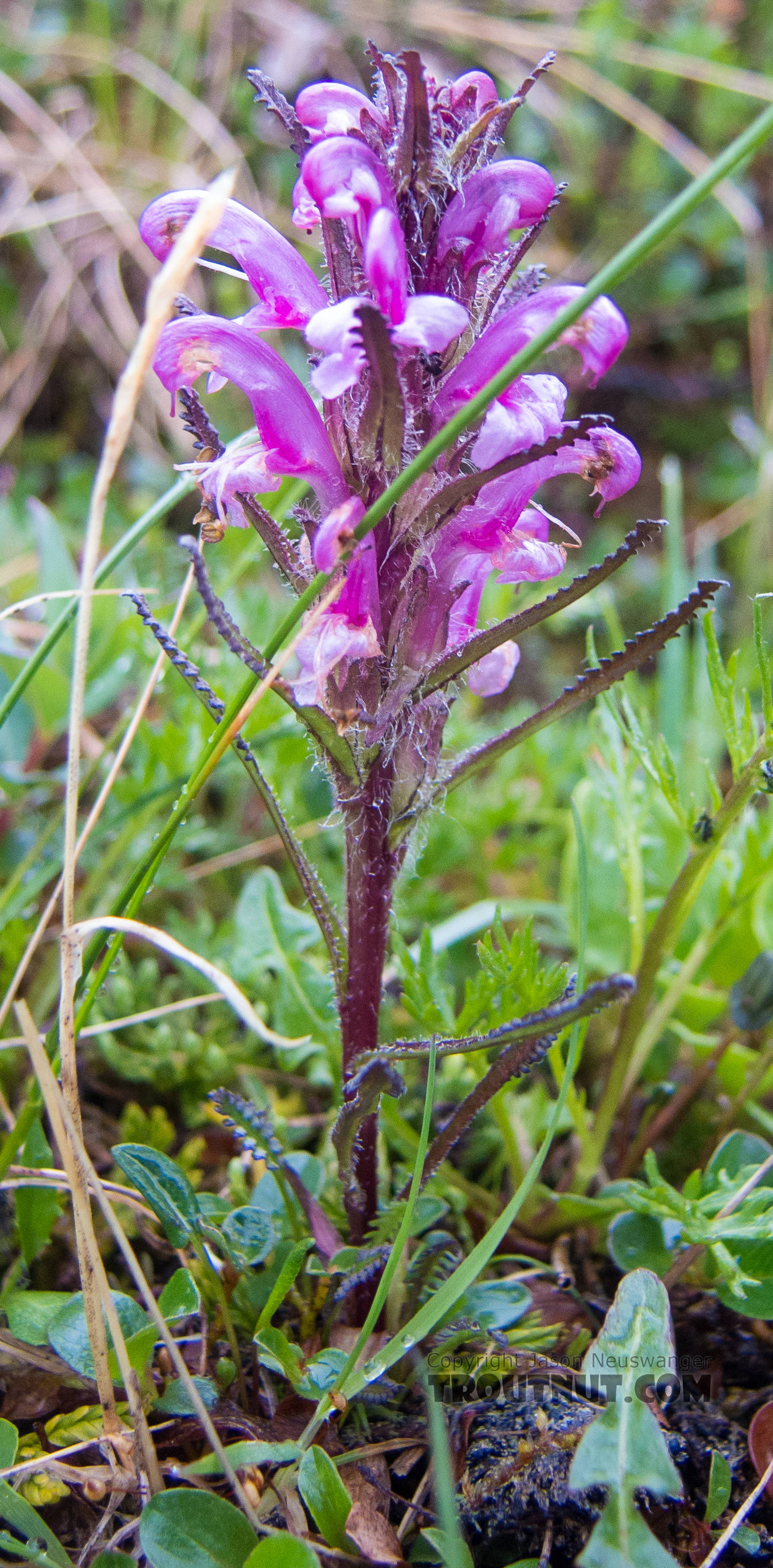 Wooly Lousewort (Pedicularis kanei) From Clearwater Mountains in Alaska.