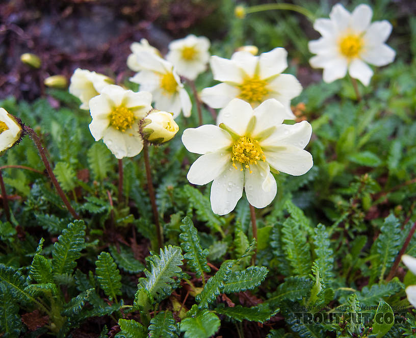Mountain avens (Dryas octopetala) From Clearwater Mountains in Alaska.