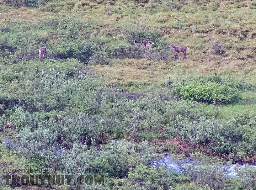 Cow caribou (middle) and 2 calves From the South Fork of Pass Creek in Alaska.