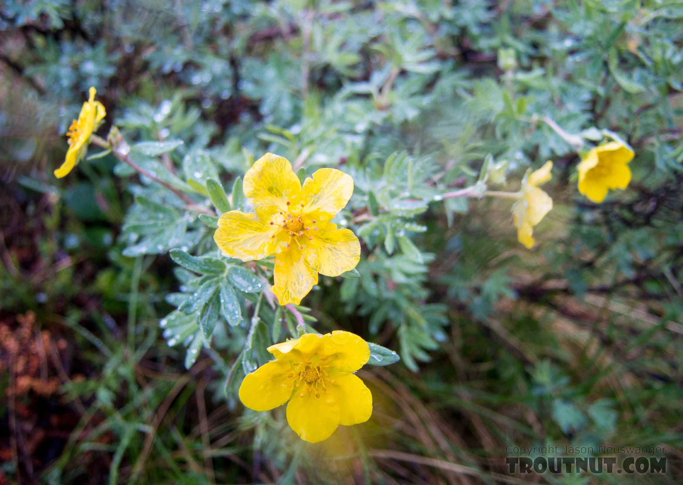 Tundra rose (Potentilla fruiticosa) From Clearwater Mountains in Alaska.