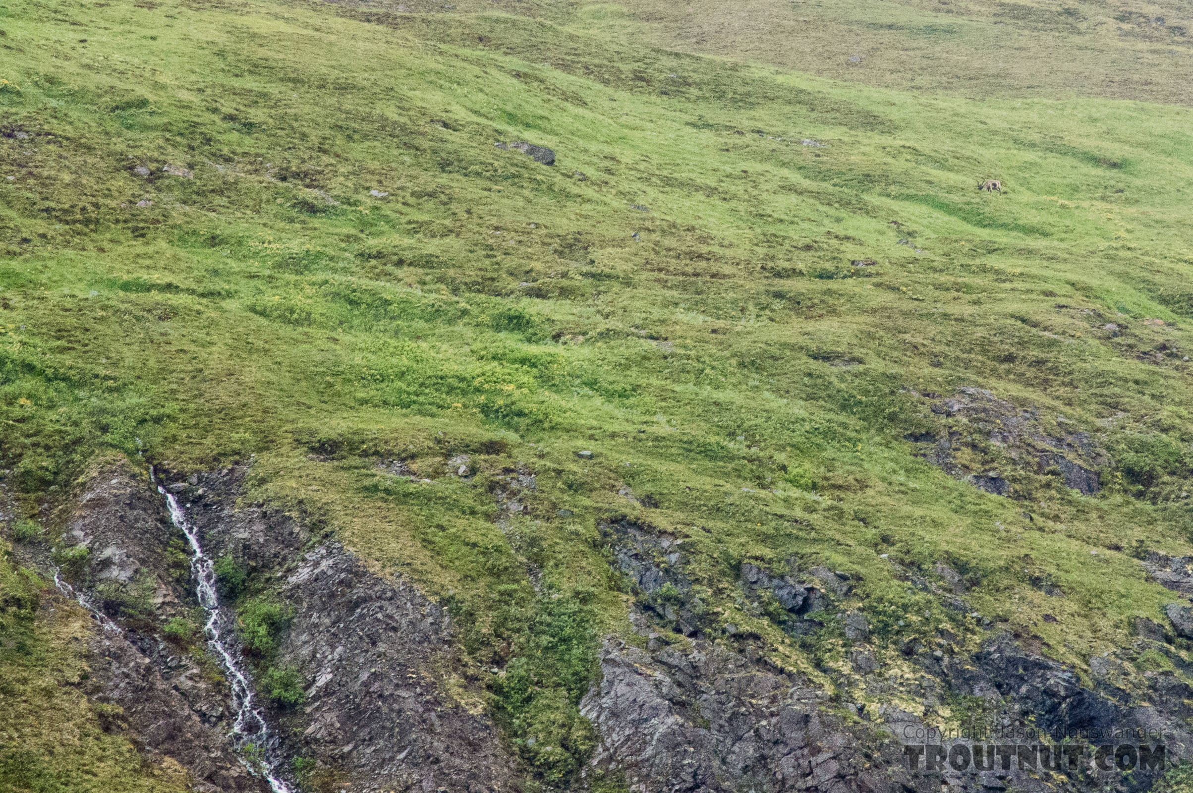 Lone bull caribou. This mid-sized bull is grazing in the upper right corner of this picture, in a high meadow above a cliff half-way up a mountain. From Clearwater Mountains in Alaska.