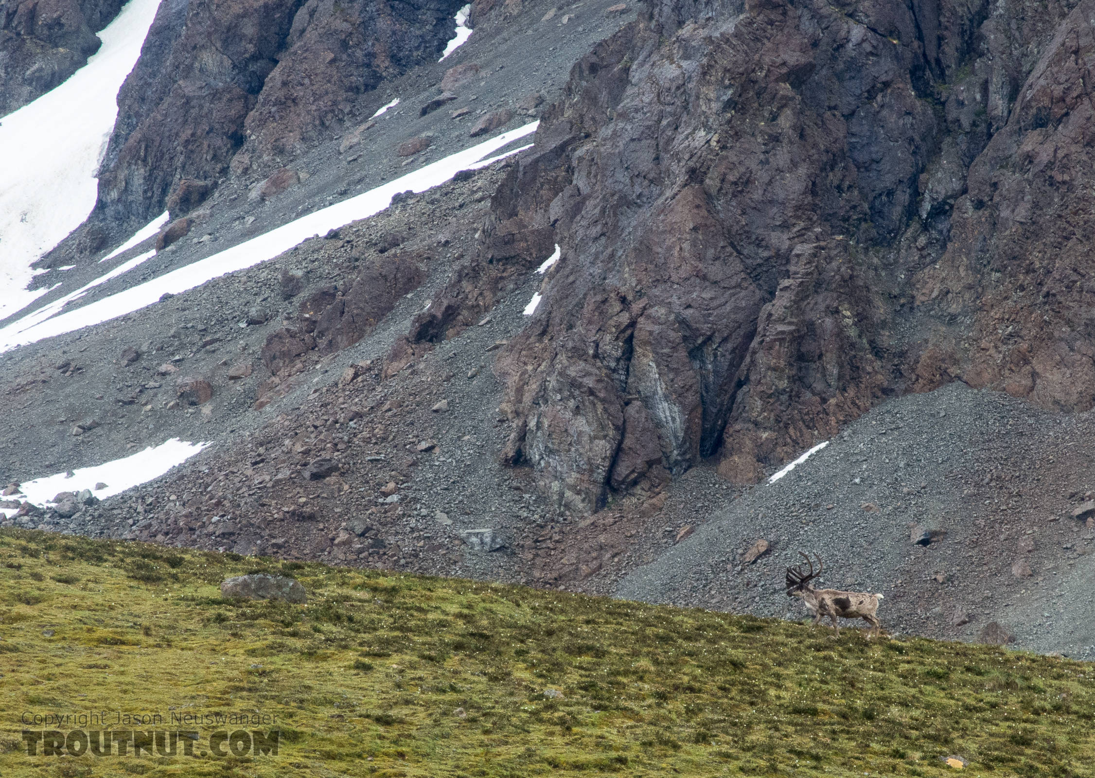 Bull caribou walking away From Clearwater Mountains in Alaska.