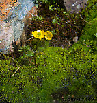 Dwarf buttercup (Ranunculus pygmaeus) From Clearwater Mountains in Alaska.
