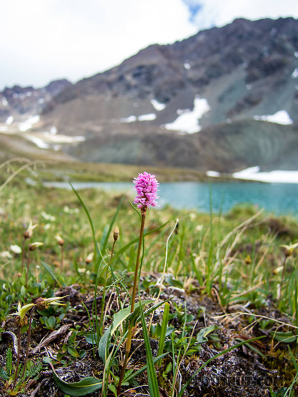 Dragonwort (Persicaria bistorta) From Clearwater Mountains in Alaska.