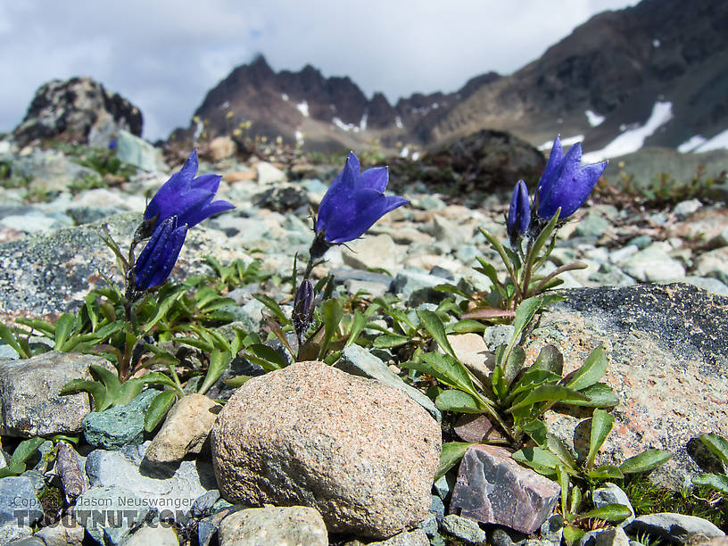 Mountain harebell (Campanula lasiocarpa) From Clearwater Mountains in Alaska.