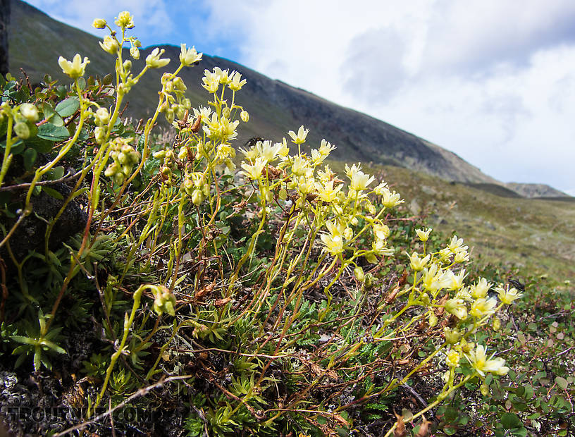 Saxifrage of some sort. Maybe yellow-spotted saxifrage (Sagifraga bronchialis) but it could be some other species of Saxifraga. From Clearwater Mountains in Alaska.