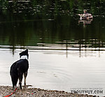 Exiled dog. I fished for about twenty minutes with her swimming around and around my float tube, then finally we tied her up on shore so I could make a few casts without worrying about catching something way too big & furry. From Mile 36.6 Pond in Alaska.