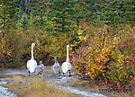 Waddling swans with their signets From Denali Highway in Alaska.