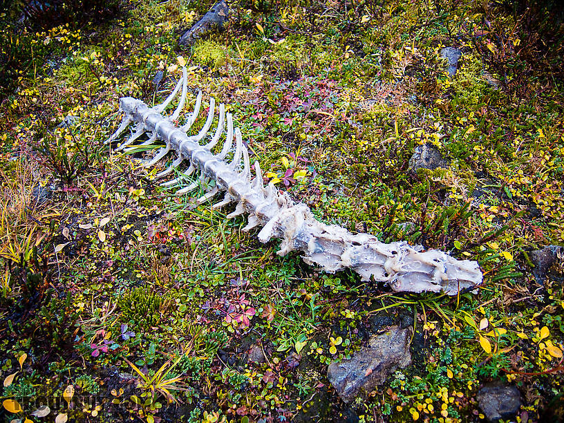 Caribou backbone. The sawed-off ribs on this partial caribou skeleton mean it was killed by a hunter. Given the location, it might be my bull from last year. It's nice to see how quickly the tundra animals made use of everything that remained. From Clearwater Mountains in Alaska.