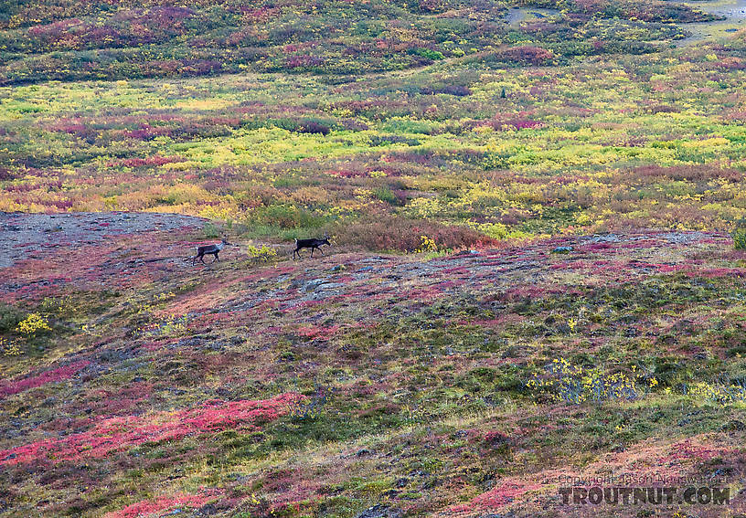 Two cow caribou. As caribou often do, these two cows appeared out of nowhere in the middle of a valley bottom we'd been watching for an hour. From Clearwater Mountains in Alaska.