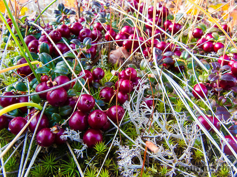 Lingonberries (low-bush cranberries) From Murphy Dome in Alaska.