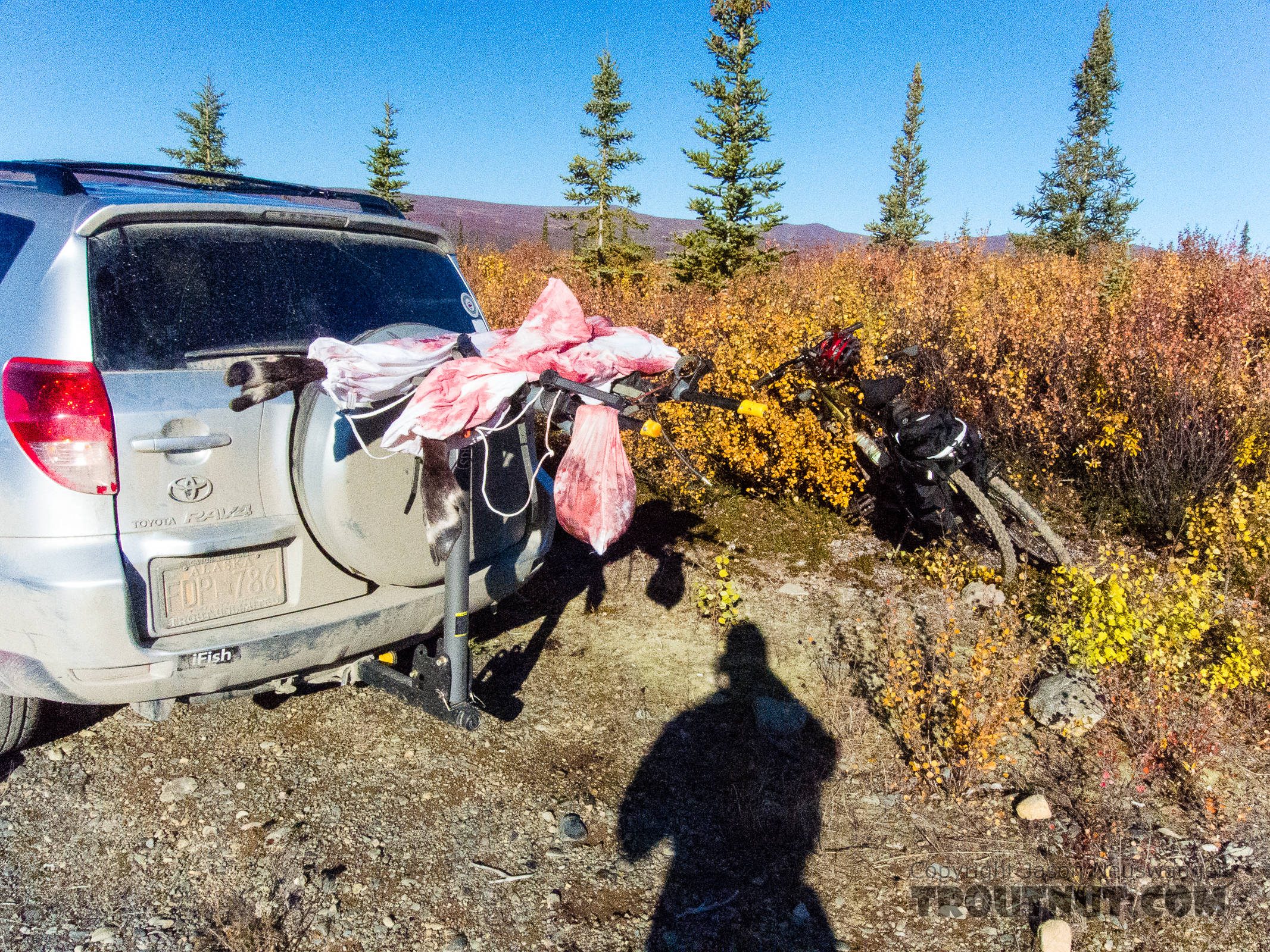 First haul of meat. After getting the meat back to the road, I stashed the hind quarters and burger/rib meat bag in an alder thicket. I took these two front quarters and tenderloins/backstraps out with me on an after-dark bike ride 3 miles downhill to the car. My awesome 172-lumen ZebraLight H51W headlamp lit up the trail almost like a car headlight for me and Lena to make the ride. From Clearwater Mountains in Alaska.