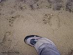 Really big (for this area) grizzly tracks next to a size 12 wading boot. From the Chatanika River in Alaska.