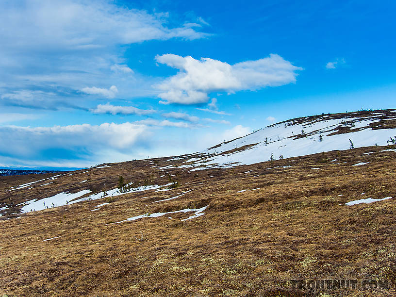 Abandoned ptarmigan habitat. I found a few white feathers from birds molting out of their winter plumage, but didn't see or hear any live ptarmigan. From Murphy Dome in Alaska.