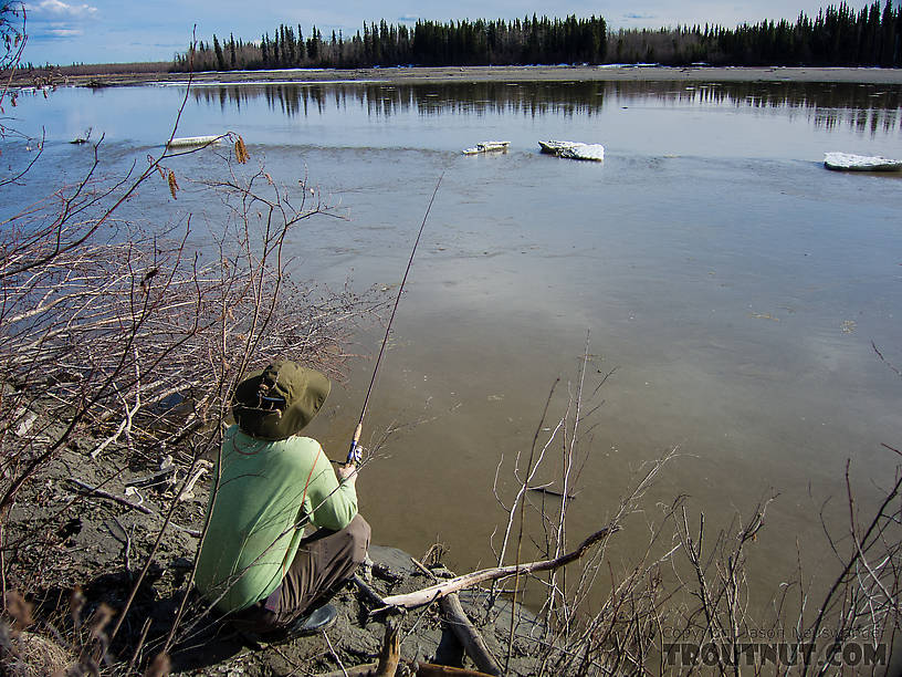 Trying for burbot. I've taken a few small ones on setlines in this eddy in the past, but never tried on rod and reel. There were no takers. From the Tanana River in Alaska.