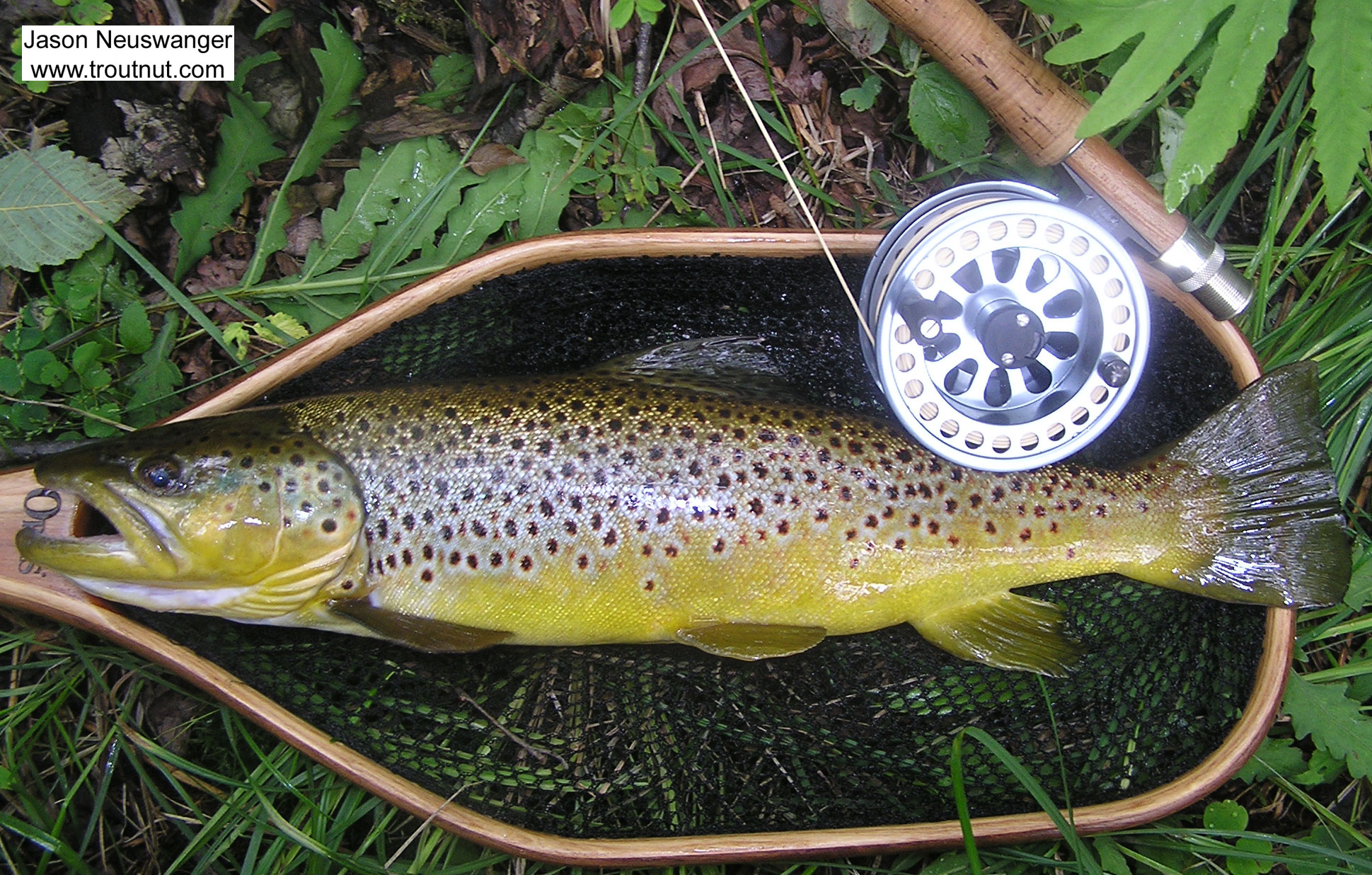 This 18 inch brown took a dry fly during early July Isonychia action. From the Namekagon River in Wisconsin.