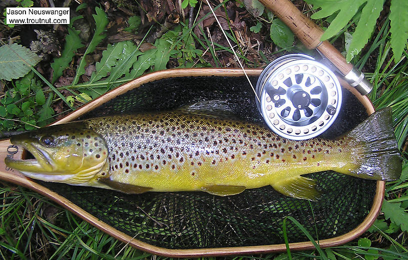 3 Iven /& Brown Trout // Grayling Flies