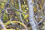Willow ptarmigan From Denali National Park in Alaska.