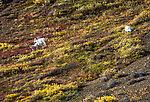 Big Dall rams From Denali National Park in Alaska.