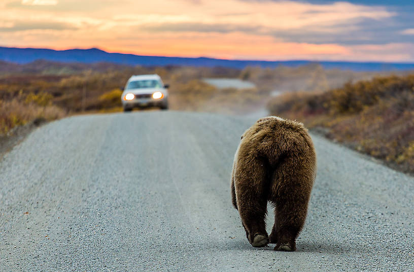 Mooned by a grizzly bear From Denali National Park in Alaska.