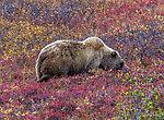 From Denali National Park in Alaska.