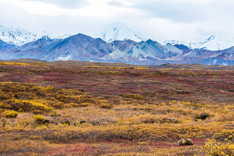 Bear with the base of Denali in the background From Denali National Park in Alaska.