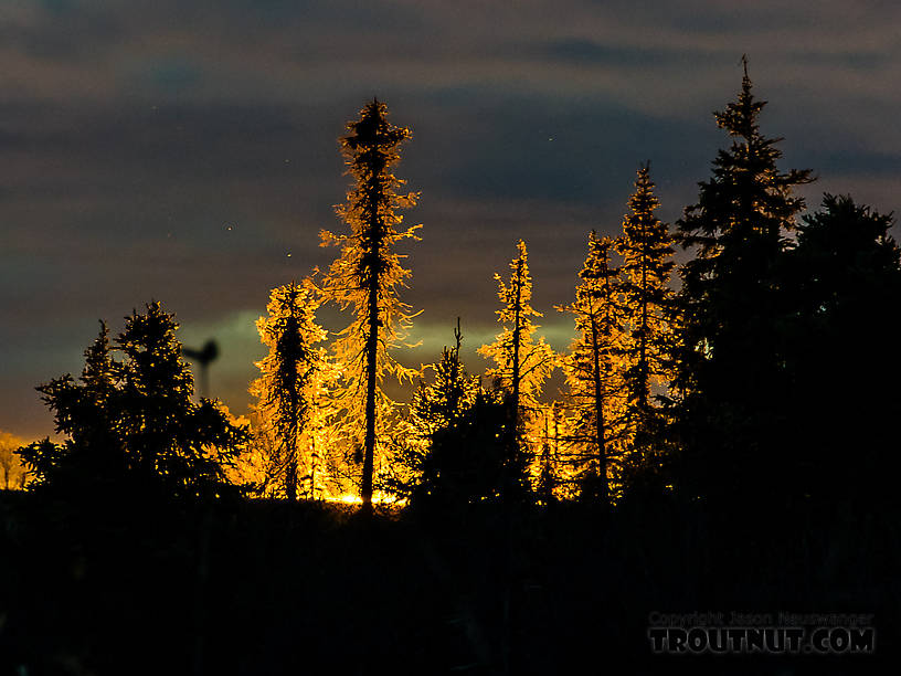 Backlit spruces at sunset From the Selawik River in Alaska.