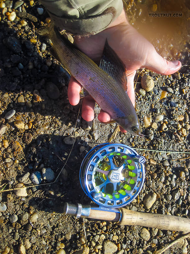 First little grayling on the new Hardy reel. From Badger Slough in Alaska.