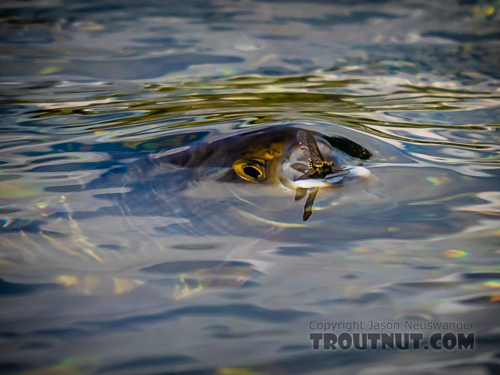 Big Arctic grayling eating a Drunella doddsii mayfly dun. From Mystery Creek # 186 in Alaska.