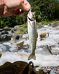 "My first cutthroat trout! A coastal cutthroat in the 8-9"" range. From the Wilson River in Oregon."