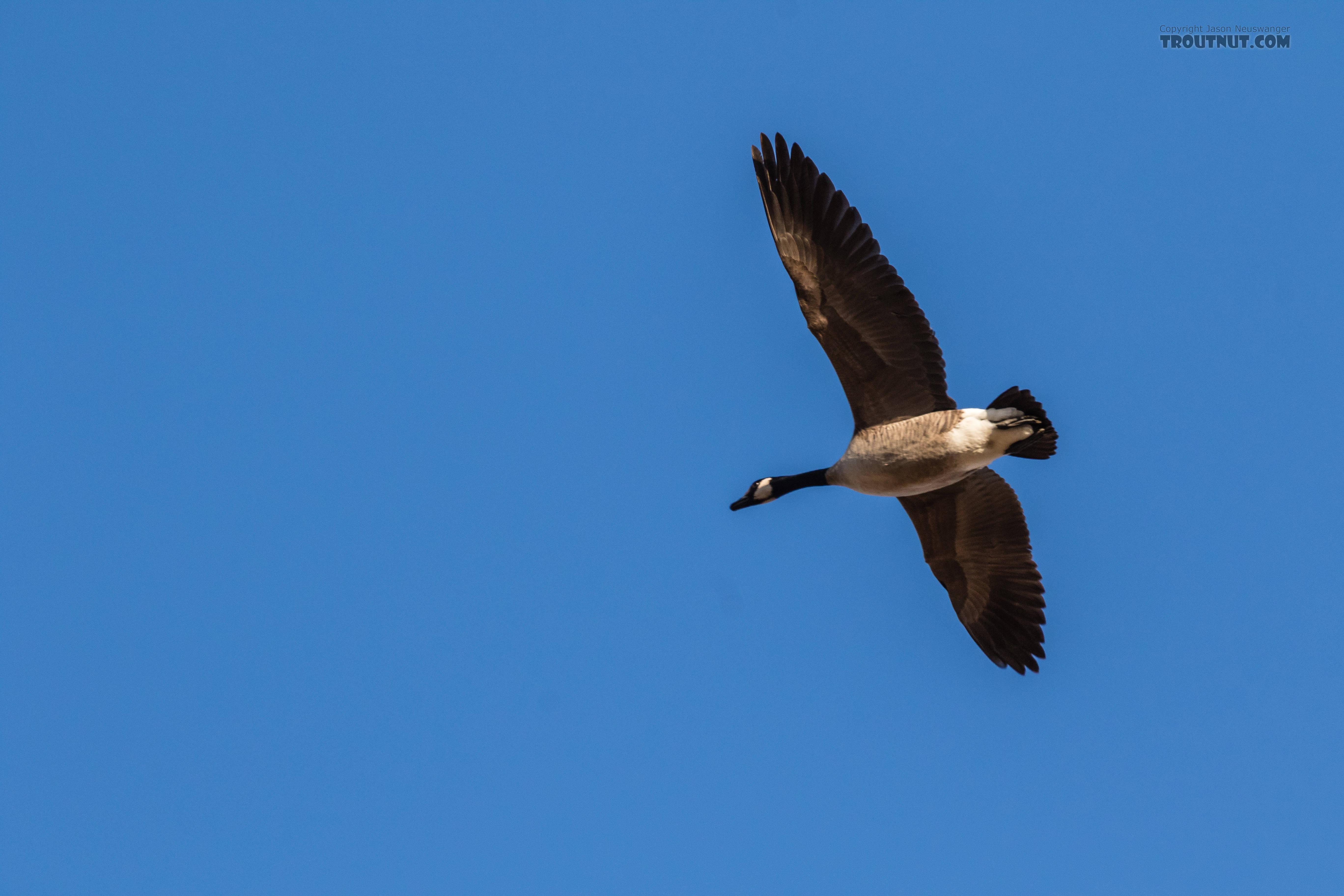 Canada goose returning to Fairbanks at Creamer's Field From Fairbanks in Alaska.