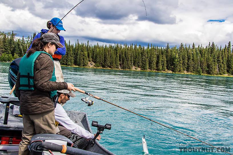 Sierra landing a trout From the Kenai River in Alaska.