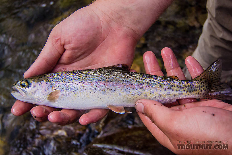 Josh's first Gulkana rainbow, small but colorful From the Gulkana River in Alaska.