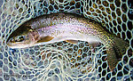 Another nice rainbow around 16 inches From the Gulkana River in Alaska.